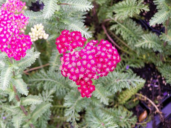Geliefde Vaste planten - Soorten vaste planten - Groengeert DL52
