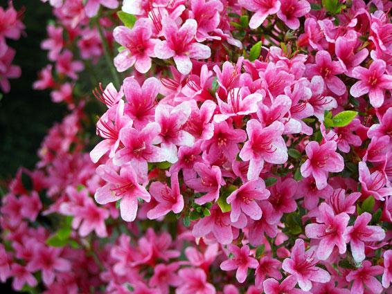 Rhododendron soorten rhododendron groengeert for Azalea japonica