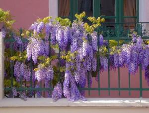 Blauwe Regen (Wisteria sinensis)