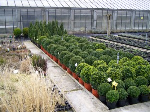 Buxus sempervirens assortiment