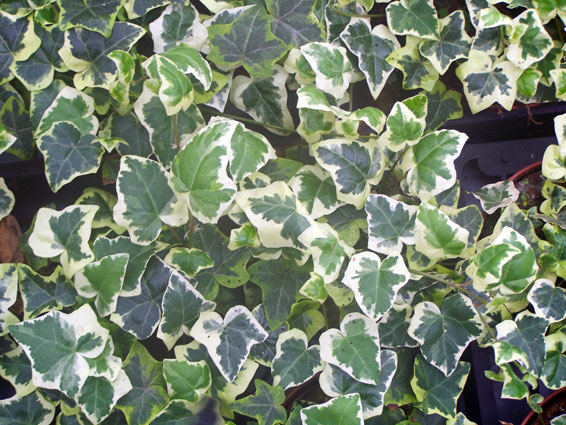 Hedera helix 'Chester'