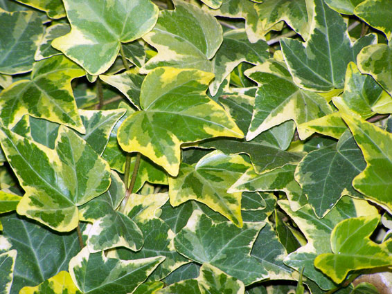 Hedera helix 'Golden Esther'