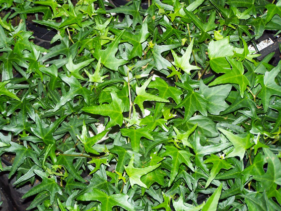 Hedera helix 'Saggitaefolia'