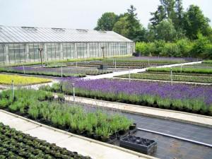 Lavendel Kwekerij Groengeert