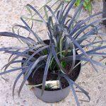 Ophiopogon planiscapus 'Niger'