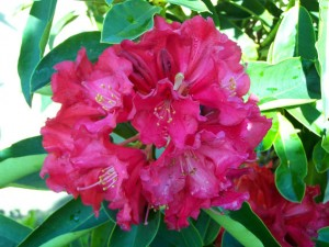 Rhododendron 'Spitfire'
