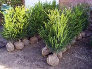 Taxus baccata (klaar voor levering)