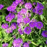 Verbena rigida 'Violet'