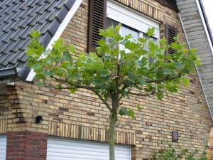 Platanus acerifolia (in dakvorm geleid)