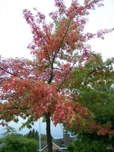 Quercus palustris (moeraseik-herfstkleur)