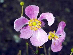 Anemone hupehensis 'Little Princess'