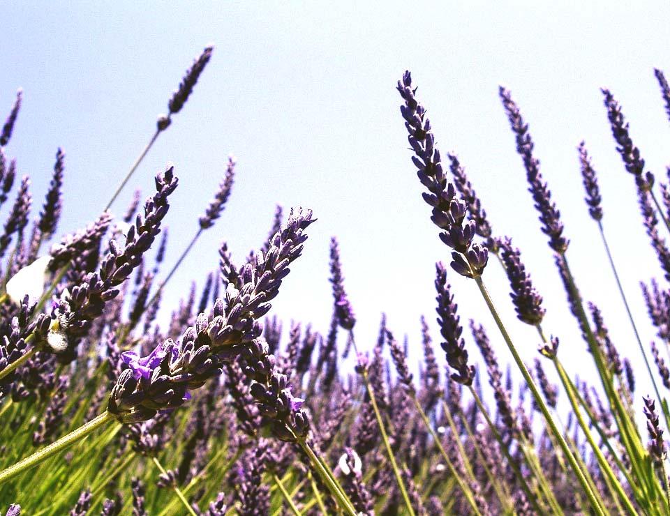 Lavendel planten Groengeert