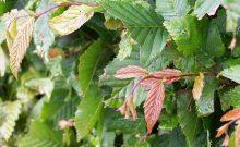 Wanneer en hoe haagbeuk planten Groengeert