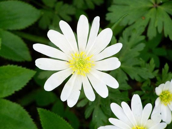 Witte Vaste Planten.Vaste Planten Soorten Vaste Planten Groengeert