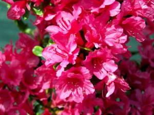 Azalea japonica