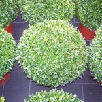 Buxus sempervirens (bollen)