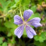 Geranium hybride 'Stephanie'