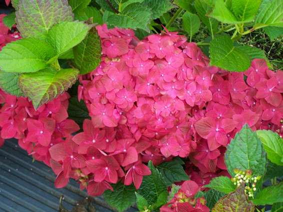Hydrangea macrophylla 'Green Shadow'