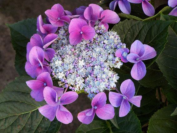 Hydrangea macrophylla teller