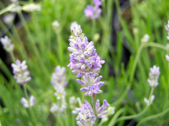 Lavandula angustifolia 'Blue Ice'