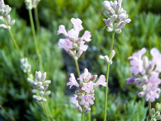 Lavandula angustifolia 'Rosea'