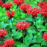 """Monarda """"Gardenview Scarlet"""""""