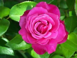 Rosa Caprice De Meilland