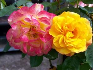 Rosa Rumba