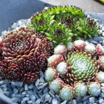 Sempervivum Mix
