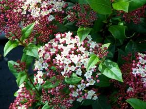 Viburnum tinus 'Gwenlian'