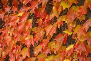 Wilde wingerd (herfstkleuren)