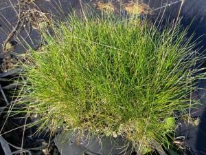 Festuca filiformis (tenuifolia)