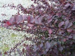 Berberis thunbergii 'Atropurpureum'