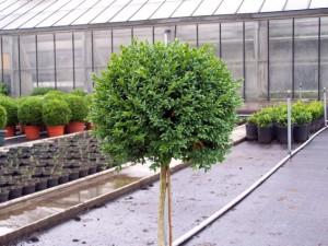 Buxus sempervirens (bol op stam)