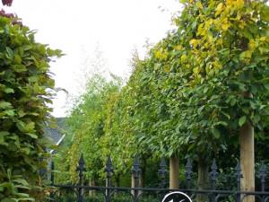 Carpinus betulus (haagbeuk hier als leischerm)