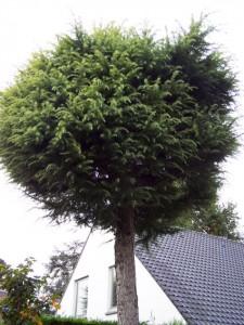 Conifeer (gesnoeid in bolvorm op stam)