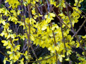 Forsythia intermedia 'Spectabilis'