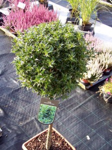 Ilex myrtifolia