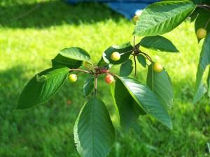 Kerselaar-vruchten