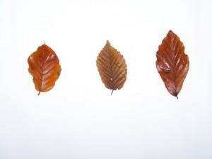 groene beuk - haagbeuk - rode beuk (winterkleur)