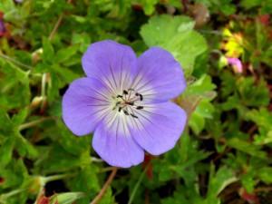 Geranium hybride 'Azure Rush'
