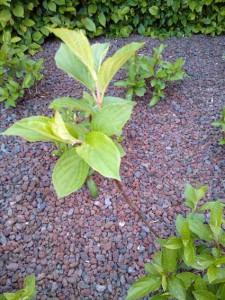 11 Mei Snoeien Hortensia Groengeert