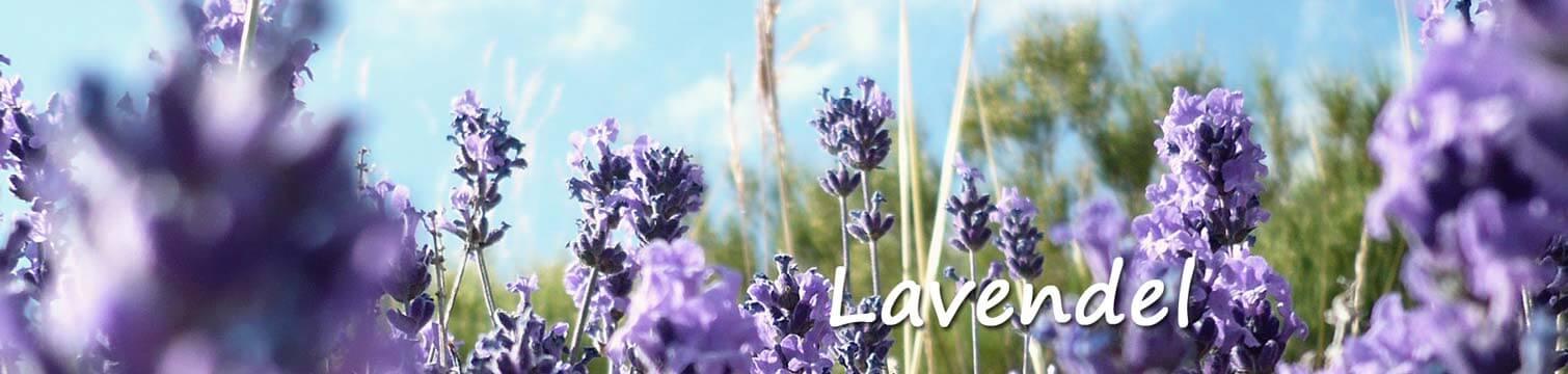 Lavendel Groengeert