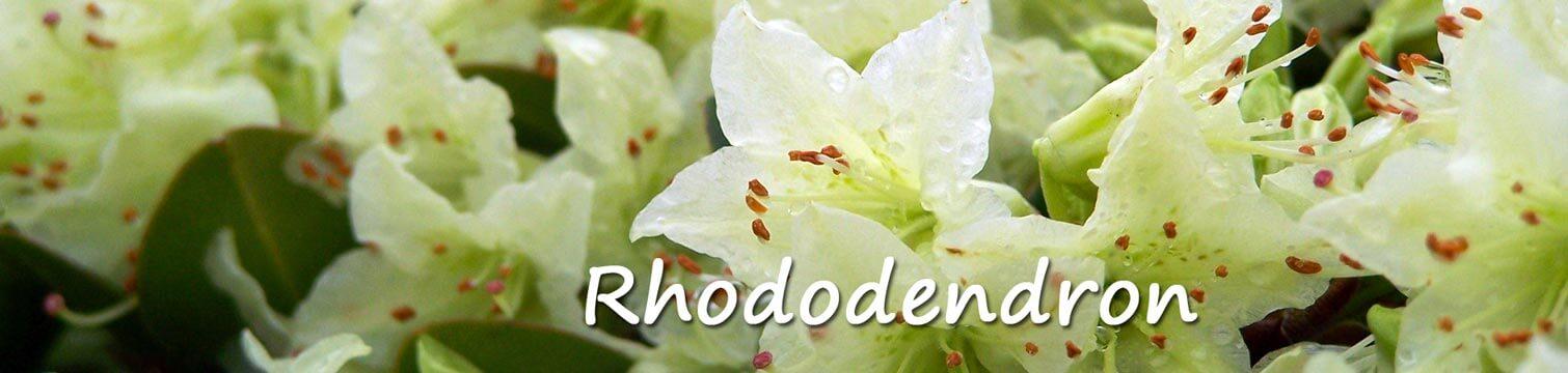 Rhododendron Groengeert