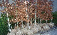 haagplanten-met-kluit-groene-beuk