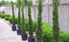 in-pot-of-container-gekweekte-planten-italiaanse-cyprs
