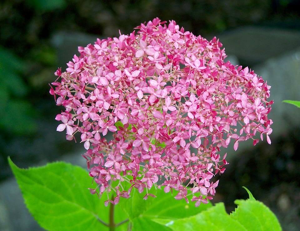 Mijn hortensia's bloeien niet wat nu? Groengeert