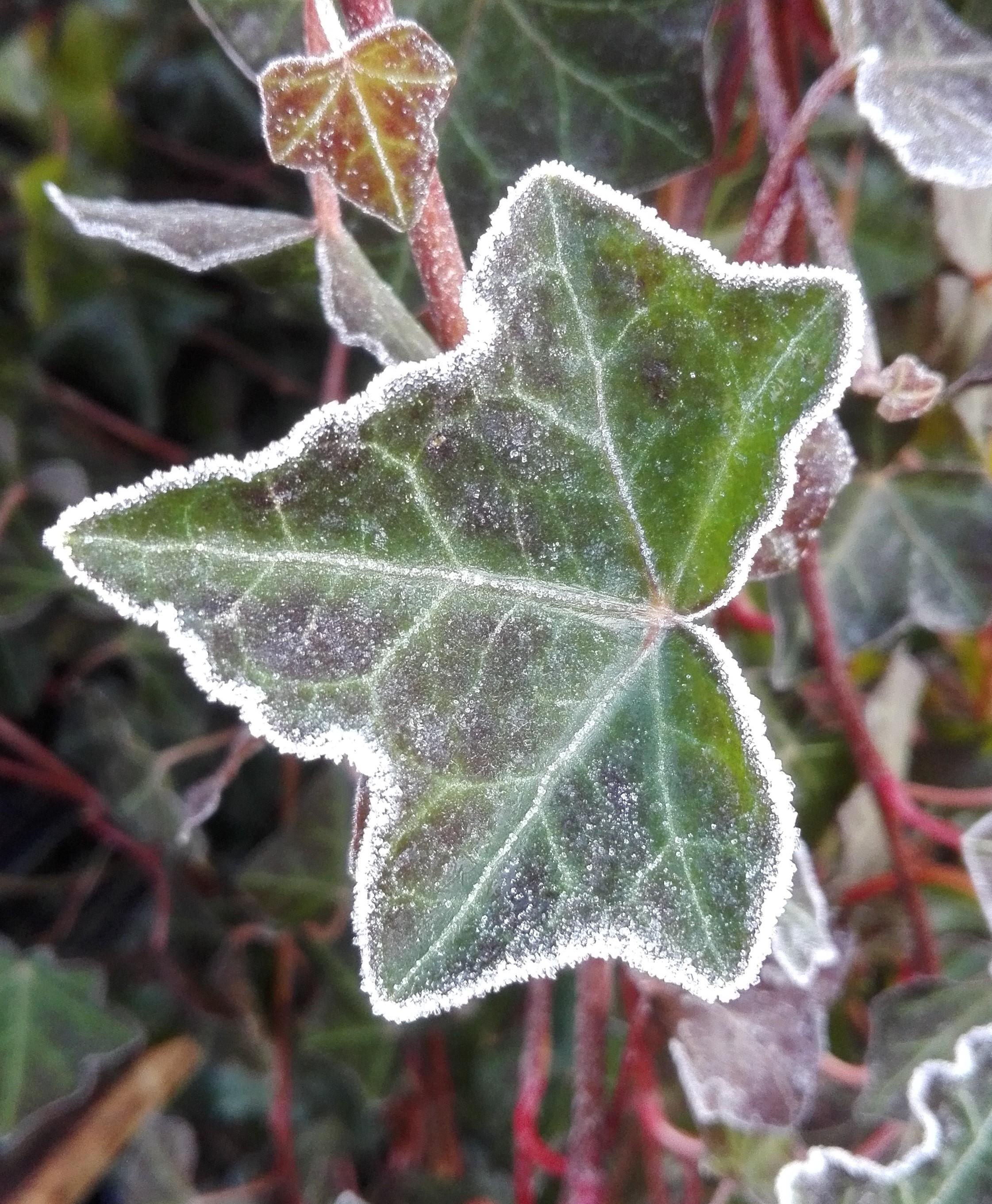 Ierse klimop of Hedera hibernica in winter (met rijp op het blad)